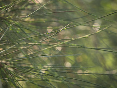 needles (Mariasme) Tags: needles bokeh macro