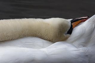 Art of the Swan (Cygnus olor)