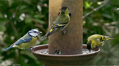 Trio (zogt2000 (No Video)) Tags: tarindesaulnes carduelisspinus mésangebleue paruscaeruleus jardin garden oiseau bird