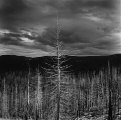 Traversing the inversion (Zeb Andrews) Tags: kodaktrix hasselblad500c mthood oregon landscape blackwhite monochrome film mediumformat pacificnorthwest landscapes tree