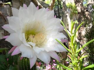 Fiore di Cactus (Echinopsis)