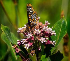 In the Pink (Portraying Life, LLC) Tags: closecrop handheld native lighting pentax k1 da3004 hd14tc milkweed meadow summer