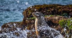 Seal Shower (xxKnuckles) Tags: california lajolla sandiego usa bubbles coast drop droplets drops mammal sea seal seals water waves