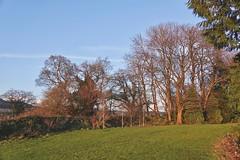 Winter Trees (Deepgreen2009) Tags: light sunset glow chestnut winter bare deciduous evening
