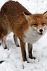 snow on my nose :D (Sue Elderberry) Tags: fox redfox urbanfox animal vulpusvulpes winter snow