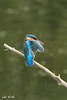 Kingfisher (johnthistle) Tags: kingfisher preening wild water 400mm canon