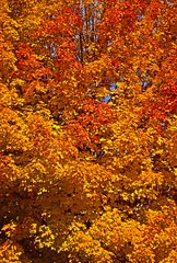 A Bright Fall Day In New England (Deepgreen2009) Tags: newengland fall autumn leaves tree yellow red orange colour vivid usa brilliant dazzling maple foliage