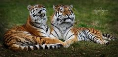 Alisha and Dragan (yadrad) Tags: tiger amur siberian siberiantiger amurtiger dartmoorzoologicalpark dartmoorzoo carnivores bigcats ngc