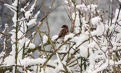 03/2018 (Vulpe Photographie) Tags: oiseau bird nature neige snow winter hiver naturelover