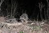 Nighttime Raccoon (adbecks) Tags: raccoon dslr camera trap wildlife d3300 kit lens 1855 camtraptions