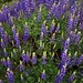 A Patch of Beautiful Brewer's Lupine (Yosemite National Park)
