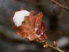 Snowy Leaves-E3170291 (tony.rummery) Tags: closeup em10 guildford leaf mft macro microfourthirds omd olympus snow stmarthas surreyhills winter albury england unitedkingdom gb