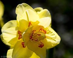 Backlit (Explore 3/23/18) (Gary P Kurns Photography) Tags: daffodil macro flowers oklahoma closeup flowersplants nikond850 events 105macro places nikon