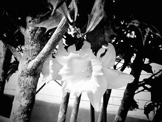 Monochrome Daffodil Dublin Ireland 23-03-2018