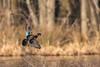 Wood Duck Drake (rob.wallace) Tags: winter 2018 huntley meadows park alexandria va in flight duck waterfowl wood drake