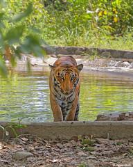 Cub out of the water (Shayon Ghosh) Tags: canon canon7dmarkii pantheratigristigris indiantiger indianwildlife bengaltiger tigercubs bigcats jungle wildlife forest tigerinwaterhole bijrani tigerreserve jimcorbettnationalpark uttarakhand india