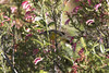 Anthobaphes violacea (Gabriel Paladino Photography) Tags: scientific classification animalia chordata aves passeriformes nectariniidae anthobaphes violacea suimangapechinaranja nectarinadepechoanaranjado orangebreastedsunbird sunbird africa wild wildlife free reserve nature natural naturaleza canon sigma 150600 contemporary eos fynbos southafrica capetown bird ave pajaro animal westerncape oranjeborssuikerbekkie souimangaorangé kirstenboschnationalbotanicalgarden kirstenbosch ericaceae erica flower plant 77d gabrielpaladino