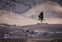 Osprey catches fish