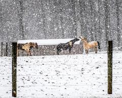 Snow Day in Coatesville Pennsylvania (Daveyal_photostream) Tags: horse horses house farm snow snowy snowscape snowcovered snowscene snowyday snowflakes snowstorm nikon nikor nature meandmygear mygearandme mycamerabag motion movement animals fence posts farmanimals snowblind heavysnowfall threehorses