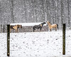 Snow Day in Coatesville Pennsylvania (Daveyal_photostream) Tags: horse horses house farm snow snowy snowscape snowcovered snowscene snowyday snowflakes snowstorm nikon nikor nature meandmygear mygearandme mycamerabag motion movement animals fence posts farmanimals snowblind heavysnowfall threehorses