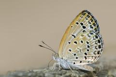 Himalayan Pale Grass Blue - Pseudozizeeria maha (Ishmaanay) Tags: himalayan pale grass blue pseudozizeeria maha