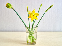 daffodils in a faceted vodka glass (uiriidolgalev) Tags: daffodils faceted vodka glass