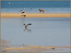 Zen dog ! (Armelle85) Tags: extérieur nature eau mer océan animal chien mouette oiseau sable paysage