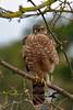 On the lookout (AndyorDij) Tags: sparrowhawk accipiternisus raptor birdofprey england empingham rutland uk unitedkingdom andrewdejardin 2018 birds bird birdfeeder