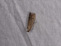 Pyralidae sp. (dhobern) Tags: 2018 china lepidoptera march xtbg xishuangbanna yunnan pyralidae