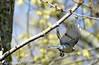 Mésange charbonnière (jean-daniel david) Tags: oiseau forêt arbre branche bokeh vol volatile mésange réservenaturelle yverdonlesbains mésangecharbonnière bourgeon