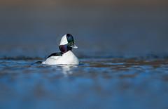 Bufflehead (nikunj.m.patel) Tags: ducks bufflehead waterfowl wildfowl winter lake nature wild wildlife outdoor migration divingducks naturephotography nikon d850 beauty