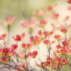 Pink Dogwood (jeanne.marie.) Tags: blossoms color dogwood flowering floweringtrees green nature pink spring trees 100xthe2018edition 100x2018 image49100
