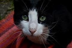 school cat (dalyadiker) Tags: cat kedi chat kitty black white pink outdoor spring whiskers istanbul stray street friend animal greeneyes