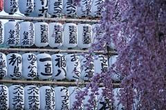 japon2018-41 (faridhMendoza) Tags: japan osaka tokyo miyajima hiroshima kyoto nara sakura cherry trees hanami torii gate bamboo naoshima yayoi kusama akihabara