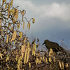 lamb's tails (lowooley.) Tags: allenvalley northpennines northernengland catkins hazel lambstails decoy crow