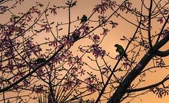 lorikeets (dustaway) Tags: malvaceae ceibaspeciosa paloborracho silkflosstree exotic domesticplant lorikeets sunset lismore northernrivers nsw australia