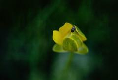 Little beetle and flower ... (Julie Greg) Tags: beetle colours nature texture canon5dmarkiv park flower macro