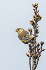 Greenfinch (Maria-H) Tags: greenfinch carduelischloris arleyhall cheshire uk olympus omdem1markii panasonic 100400 england unitedkingdom gb