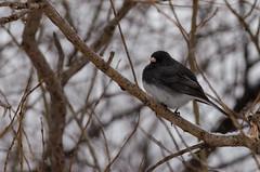Dark-eyed Junco (janelle.streed) Tags: darkeyedjunco junco juncohyemalis birds animals wildlife nature outdoors minnesota spring snow snowing