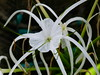 White Fingers (Toats Master) Tags: cambodia siemreap plants flowers nature blooms
