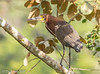 Rufescent Tiger-Heron (Tigrisoma lineatum) (David A Jahn) Tags: panama rufescent tigerheron tigrisoma lineatum bird waterbird wading