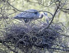 Sevenoaks Heron nest