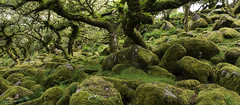 Cloaked in velvet. (lawrencecornell25) Tags: landscape dartmoor dartmoornationalpark wistmanswood woodland ancientbritain mosses lichens nature outdoors trees oaks nikond800