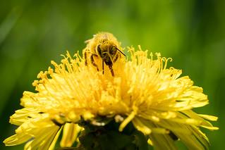 honeybee at work / Honigbiene bei der Arbeit