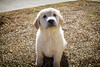 Yogi '15 (R24KBerg Photos) Tags: goldenretriever dog puppy purebred cute pretty animal canon canine sweet baby 2015 friend eyes portrait