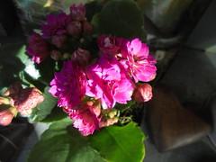 DSC02748 (classroomcamera) Tags: flower flowers petal petals green leaf leaves leafy grow grows growing growth shadow shadows shawody dark light bright sun sunlight sunshine lights lighting contrast closeup