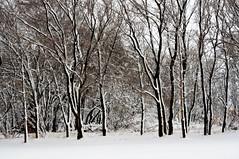 In a line (ella~d) Tags: snow snowy trees line white winter season southdakota blackwhite