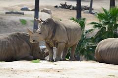 DSC_5275 (Andrew Nakamura) Tags: animal mammal rhino rhinoceros whiterhino southernwhiterhinoceros lyingdown sandiegozoosafaripark safaripark escondido