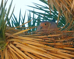 Mourning dove on nest (Tony Cyphert) Tags: bird nest nesting dove mourningdove
