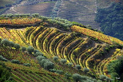 Douro no outono! (puri_) Tags: vinhedos outono douro cores verde vermelho socalcos